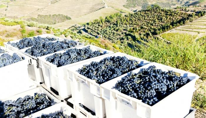 participar numa vindima ensina-lhes o processo de produção do vinho (e proporciona um dia bem diferente)!