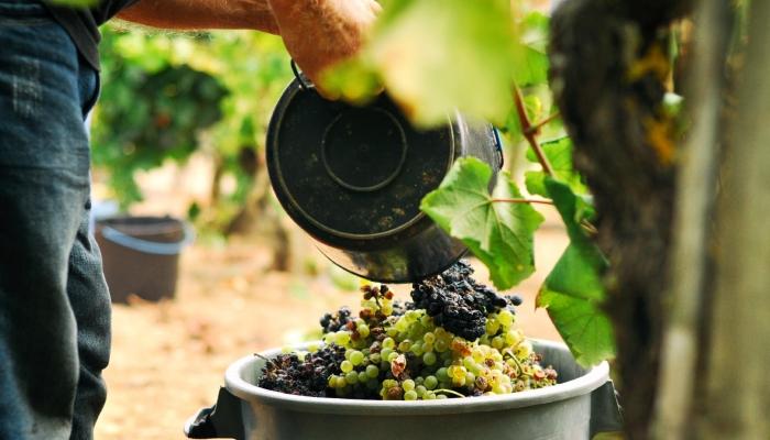 Vai vai poder passear pwla Vinha, observando os trabalhadores no seu ritual do corte e transporte das uvas